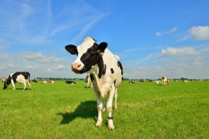 Cows Pic